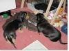slideshow-dachshunds-0104