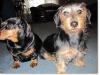slideshow-dachshunds-0113